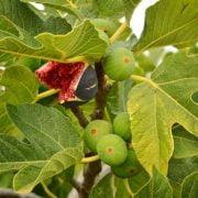 hojas de higuera